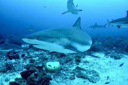 迫力満点の鮫さん