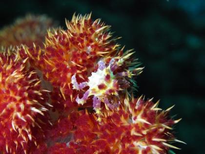 磯コンペイトウ蟹