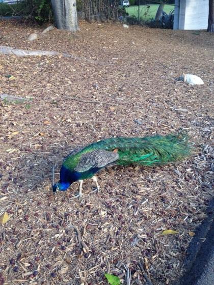 野生の孔雀