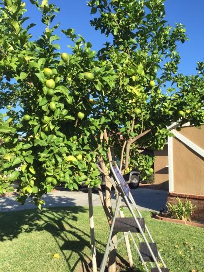 歯抜けのレモンの木